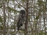 chouette lapone- Great gray owl