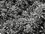 Sweet Woodruff (black and white)