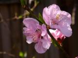 Nectarine bloom