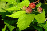 thorned berry