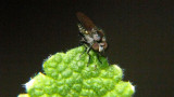 Fly on Pineapple Mint