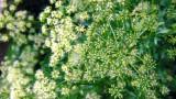 Parsley Blooms