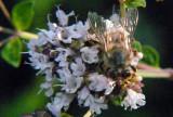 Oregano Bee