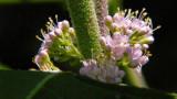 Beauty Berry Bush Blooms