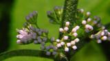 Beauty Berry Bush Buds