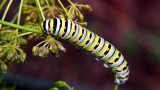 Parsley Worm - Future Butterfly
