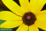 Up close - Brown Eyed Susan