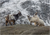 Wild mountain goats at Cwm Idwal