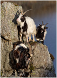 goats on a peak-web.jpg