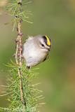 Kinglets and Nuthatches