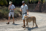 Cheetah with handlers at Australia Zoo.