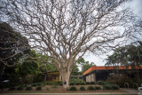 Old tree in Brisbane