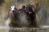 Bull race, Batu Sangkar, Indonesia