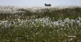 Cotton Grass and Woollyback -  Derwent Edge