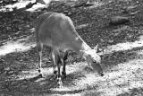 Nilgai antelope female