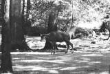 Nilgai antelope male