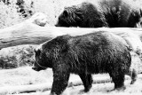 mirrored Grizzlies