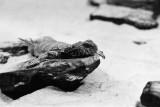 Ornate spiny tailed lizard