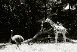 ostrich and juvenile giraffe