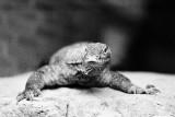 Monitor Lizard (Kimodo Dragon) juvenile