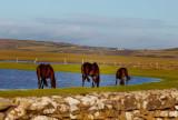 horses garzing
