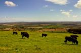 cattle garzing.jpg