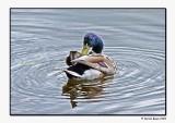 Bent Double Duck