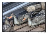 Decoy Ducks