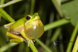 australian_frogs