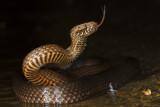 australian_reptiles