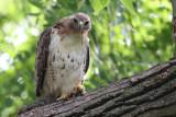 Red Tail Hawk at the Morton Arboretum