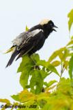Bobolink  -  (Dolichonyx oryzivorus)  -  Goglu des prés