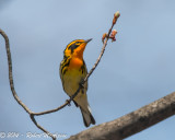 Blackburnian Warbler - (Setophaga fusca) - Paruline à gorge orangée