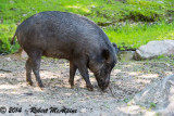 Family Suidae - pigs and warthogs