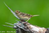 Grasshopper Sparrow  -  (Ammodramus savannarum)  -  Bruant sauterelle