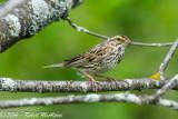 Savannah Sparrow  -  (Passerculus sandwichensis)  -  Bruant des prés