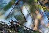 Tennessee Warbler  -  (Vermivora peregrina)  -  Paruline obscure