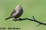 Brown-headed Cowbird  -  (Molothrus ater)  -  Vacher à tête brune