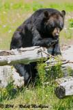 American Black Bear - (Ursus americanus)