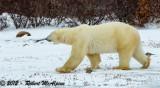 Polar Bear - (Ursus maritimus)