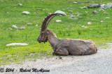 Alpine Ibex - (Capra ibex)