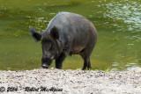 Wild Boar - (Sus scrofa)