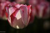 Tulipes 2013
