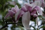 Variations sur les magnolias