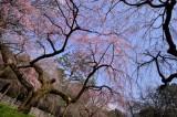 Sakura 2014 at Kyoto