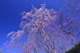 Sakura 2016 at Kyoto