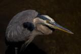 Great Blue Heron Studio Shot