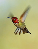 Hummingbird (2)A .jpg