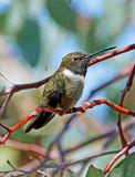 Hummingbird (5)A.jpg