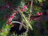Hummingbird 10A.jpg